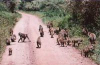 Baboon troop: Wikipedia