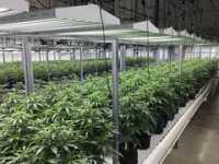 """""""Cannabis Indoor 3""""by Oregon Department of Agriculture is licensed under CC BY-NC-ND 2.0"""
