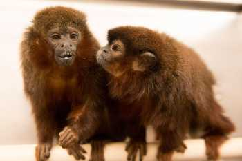 Monogamous  Titi monkeys