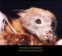 This image depicts the head of a gray-headed flying fox, Pteropus poliocephalus CDC/ Brian W.J. Mahy,