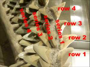 "Shark Teeth: lower jaw with 4 tooth rows and 4 tooth series labeled. ""Series 1"" contains the functional teeth at the front of the jaw. Wikipedia Image"