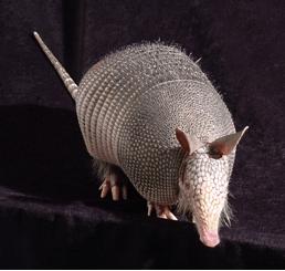Nine-banded armadillo image credit: Dr. Richard Truman, USPHS, Public Domain (2014)