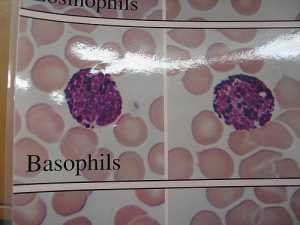 """Basophil"" by GreenFlames09 is licensed under CC BY 2.0"