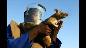 Howard Burditt / Reuters The rats have been used to to detect land mines in Africa.