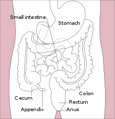 Normal location of the appendix relative to other organs of the digestive system - Wikipedia image