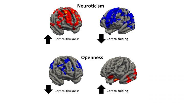 High levels of neuroticism are associated with increased thickness and reduced folding in some regions of the brain. Openness is associated with reduced thickness and an increase in folding.