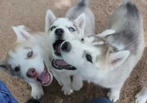 """Siberian Husky Puppies 2013-05-25"" by Jeffrey Beall is licensed under CC BY 2.0"