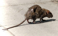 rat- wikipedia image