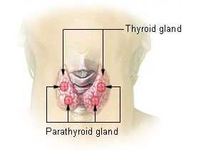 Thyroid gland Wikipedia image