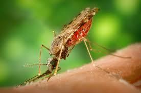 Wikipedia mosquito